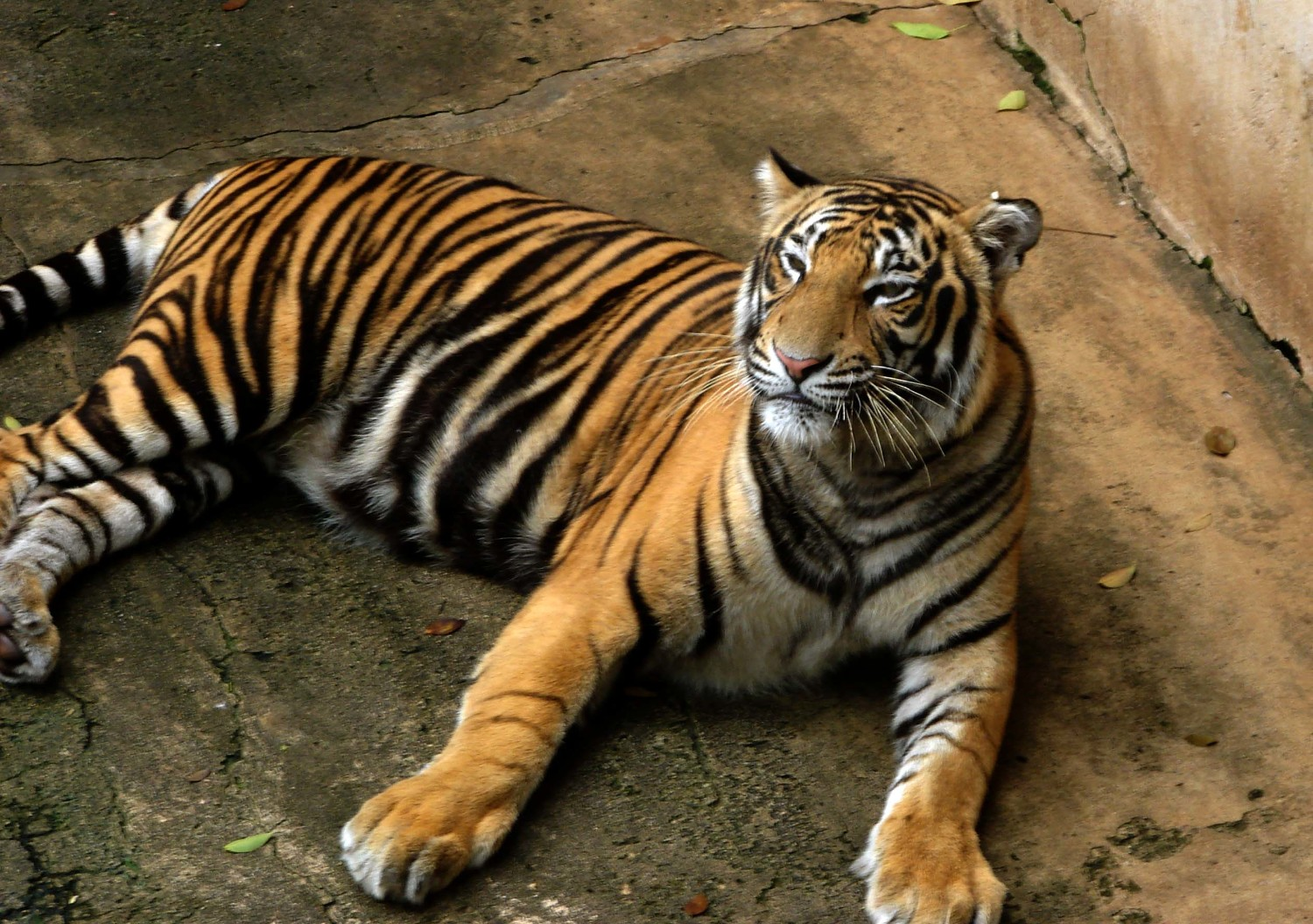 Bengal Tiger Indian Tourism On Rediff Pages
