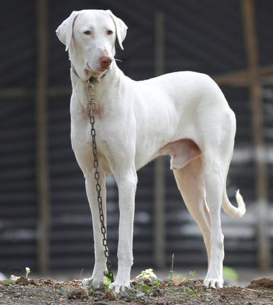 Best Dog For Home Protection In India